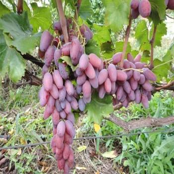 Саженцы винограда Зарево в Батайске