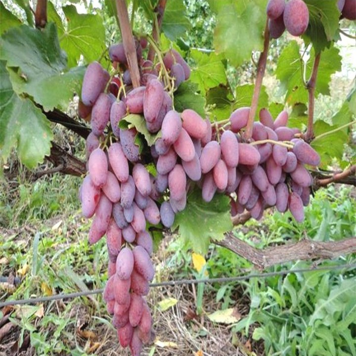 Зарево сорт винограда
