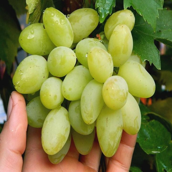 Верона сорт винограда