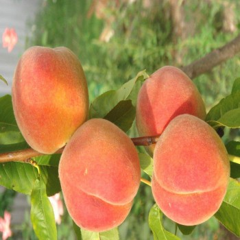 Саженцы персика Крест Хейвен в Батайске