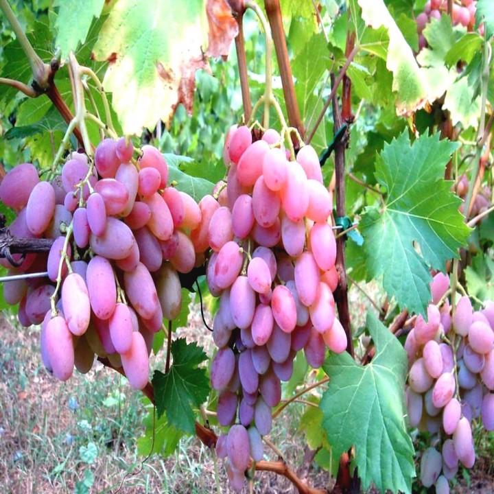 Водограй сорт винограда