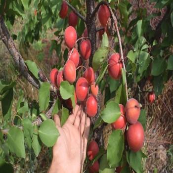 Саженцы абрикоса Харогем в Батайске