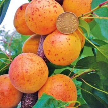 Саженцы абрикоса Оболонский в Батайске