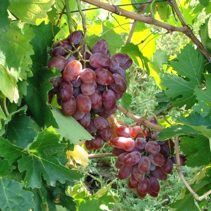 Былина сорт винограда