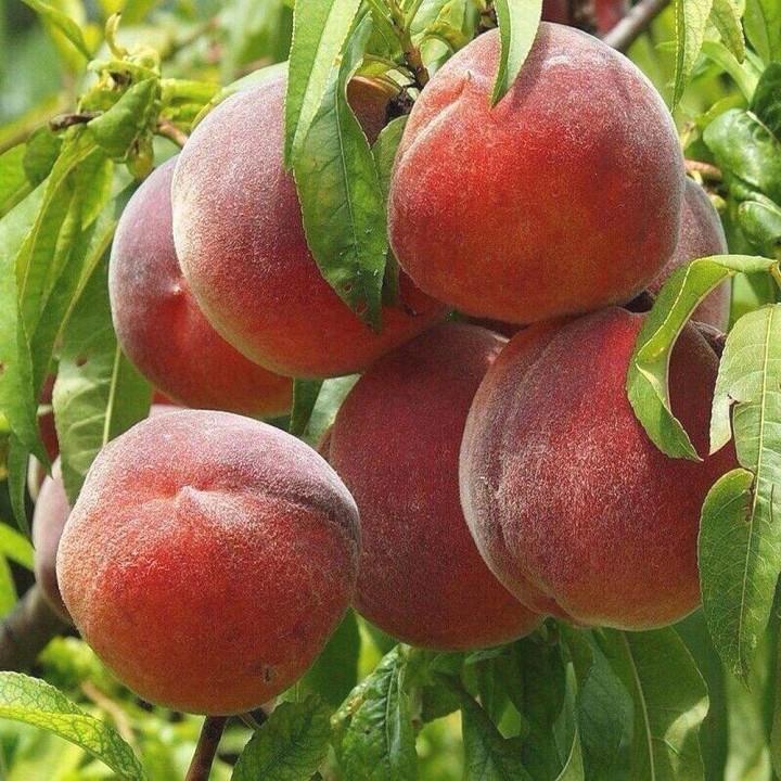 Роял Саммер сорт персика