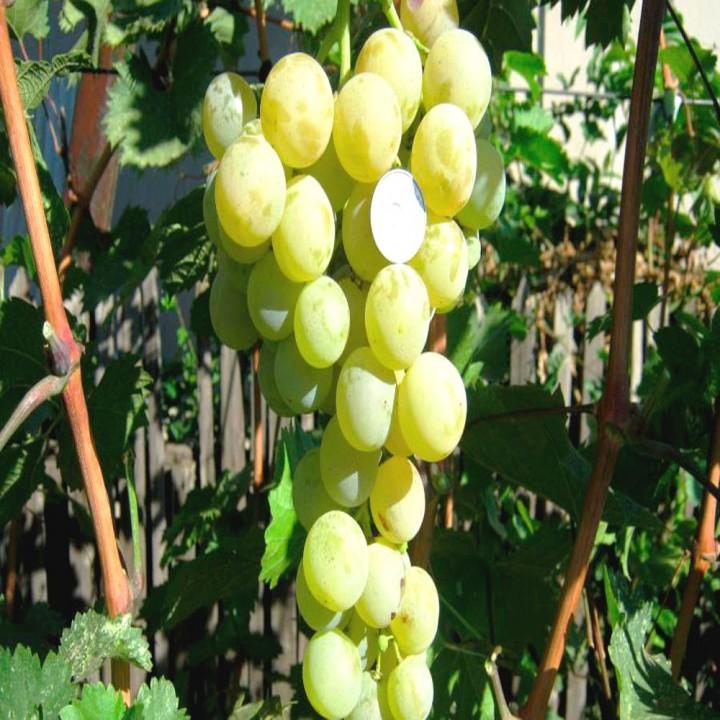 Лучезарный сорт винограда