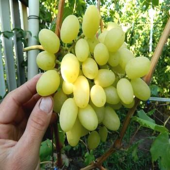 Саженцы винограда Ландыш в Батайске