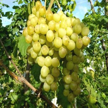 Саженцы винограда Восторг в Батайске