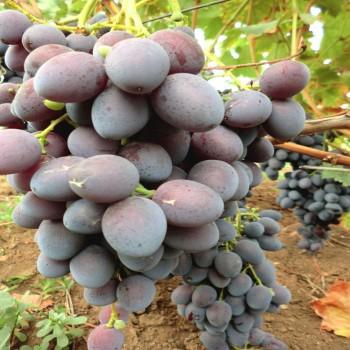 Саженцы винограда Атаман в Батайске