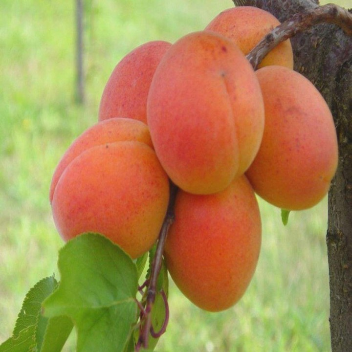 Петропавловский сорт абрикоса