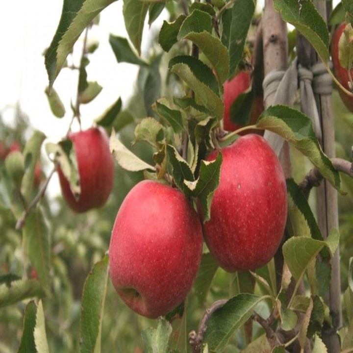 Пирос сорт яблони