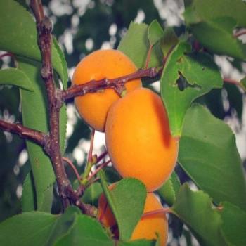 Саженцы абрикоса Эрли Ред Оранж в Батайске