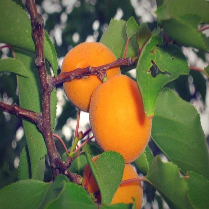 Эрли Ред Оранж сорт абрикоса