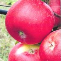 Саженцы яблони Амулет в Батайске