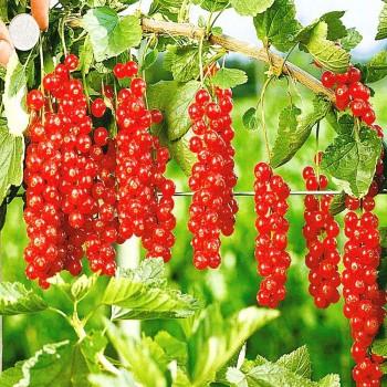Саженцы красной смородины Роднеус в Батайске