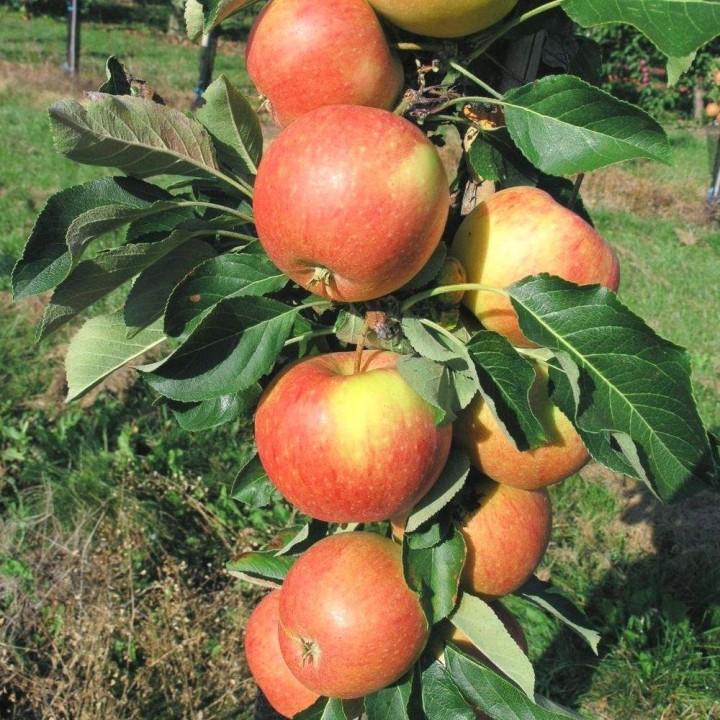 Триумф сорт колоновидной яблони