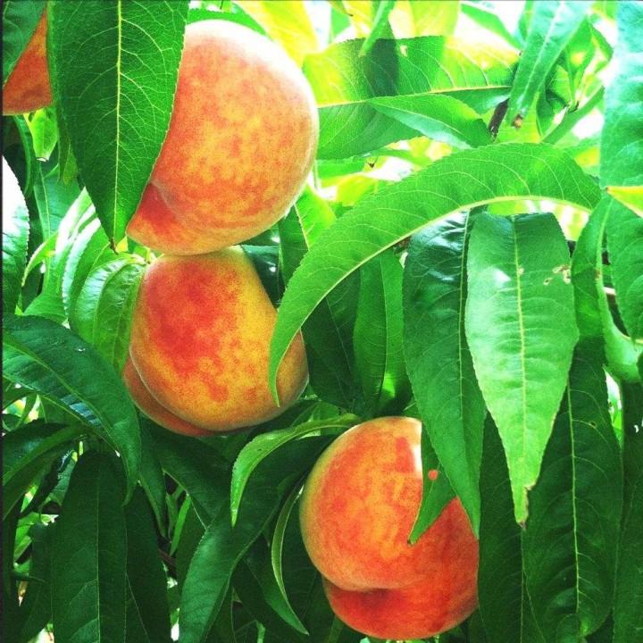 Демерджи сорт персика