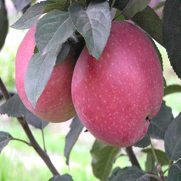 Роял Ред Делишес сорт яблони