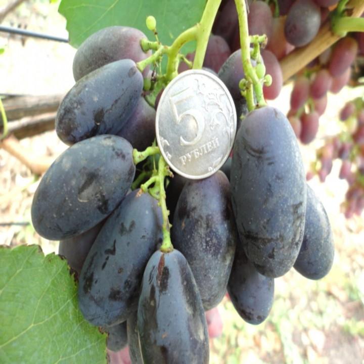 Велика сорт винограда
