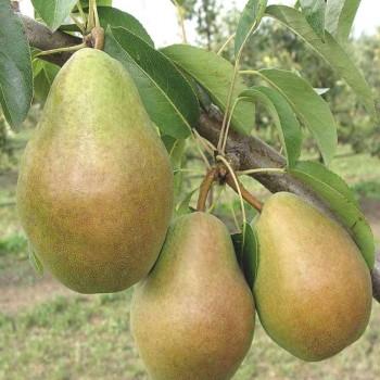 Саженцы груши Анжерская Лилия в Батайске