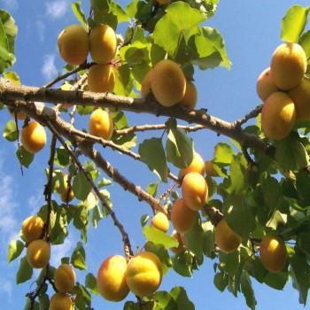 Саженцы абрикоса Дивный в Батайске