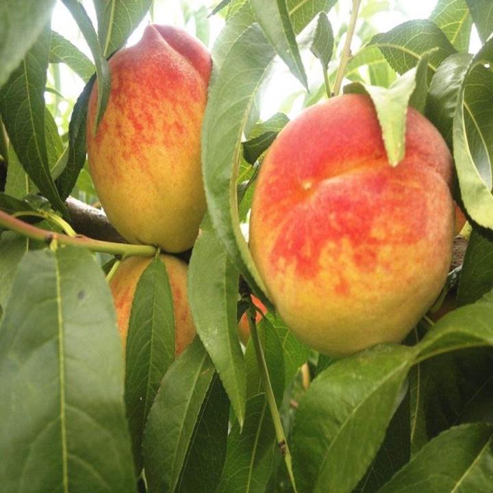 Ник 102 сорт персика