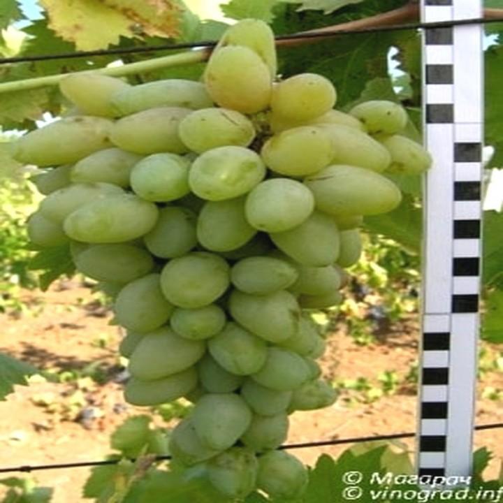 Кантемировский сорт винограда