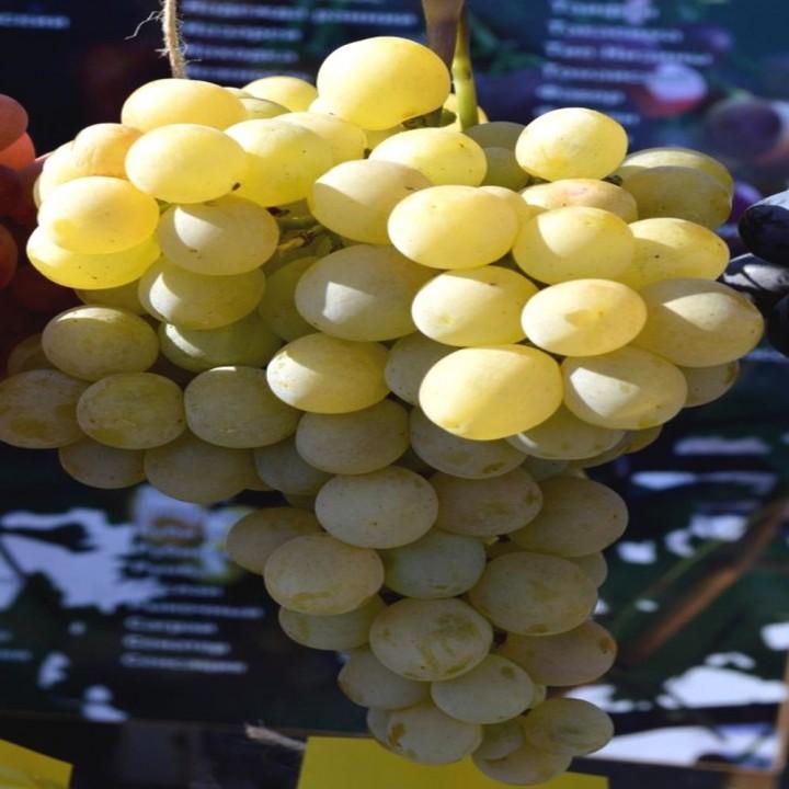 Ланселот сорт винограда