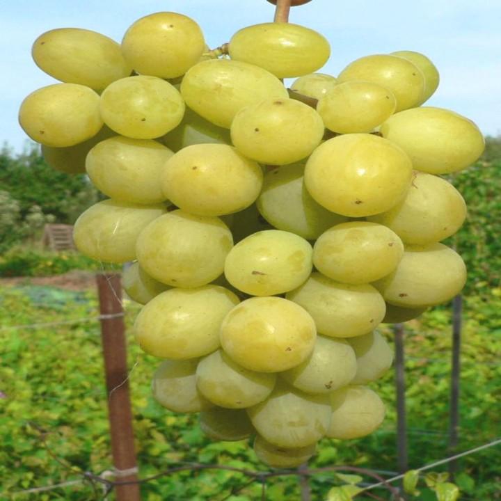 Ладанный-2 сорт винограда