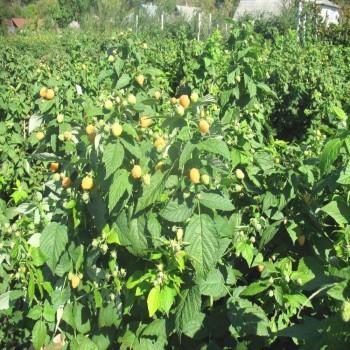 Саженцы малины Ярославна в Батайске