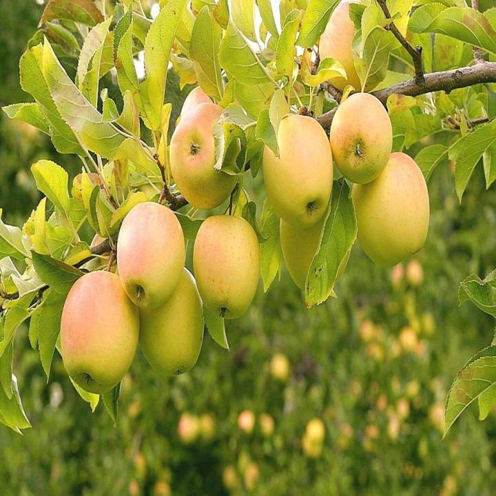 Голден Делишес Смути сорт яблони
