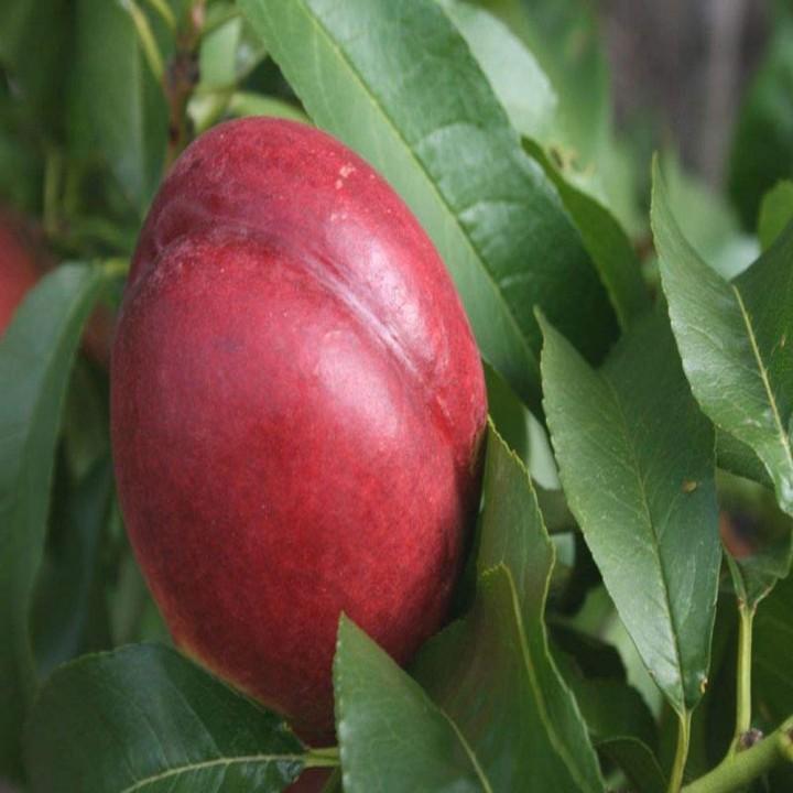 Харблейз сорт нектарина