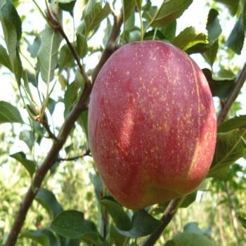 Саженцы яблони Рубинола в Батайске