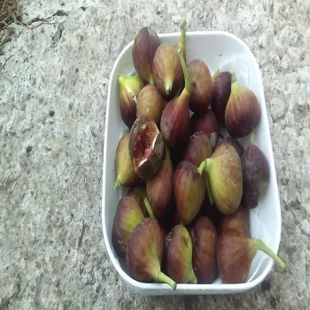 Саженцы инжира Рандино в Батайске