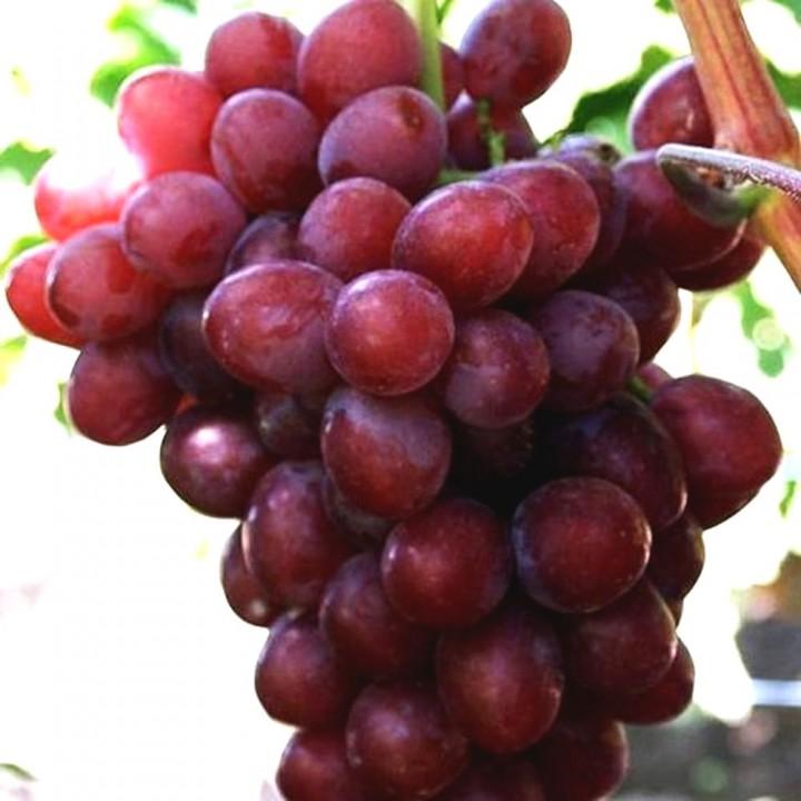 Модерн сорт винограда
