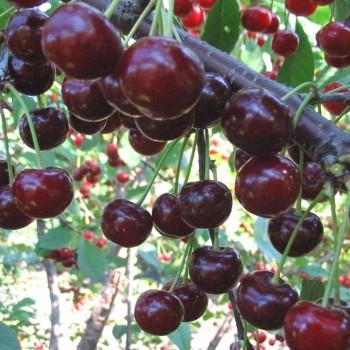 Саженцы вишни Ночка в Батайске