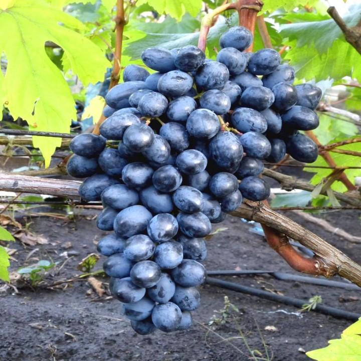 Осений Королевск сорт винограда