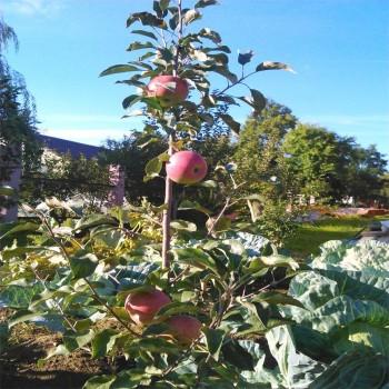 Саженцы яблони Уэлси в Батайске