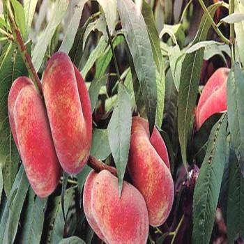 Саженцы инжирного персика Уфо-3 в Батайске