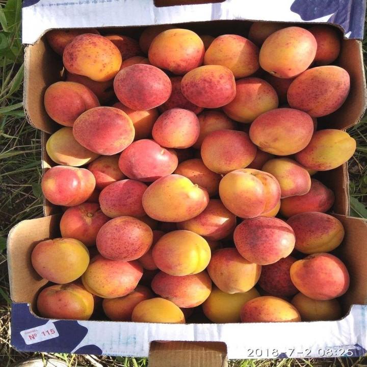 Леджуна сорт абрикоса