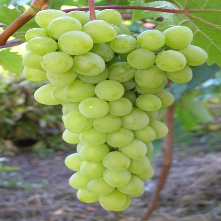 Прозрачный сорт винограда