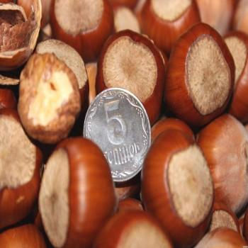 Саженцы фундука Трапезунд в Батайске