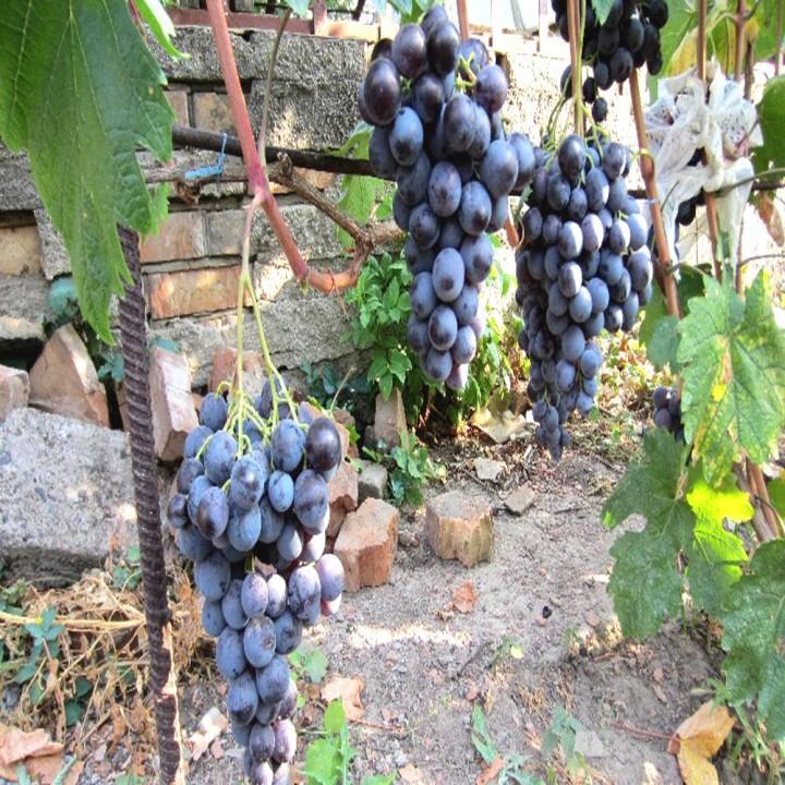 Фараон сорт винограда