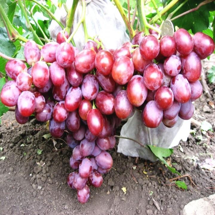 Низина сорт винограда