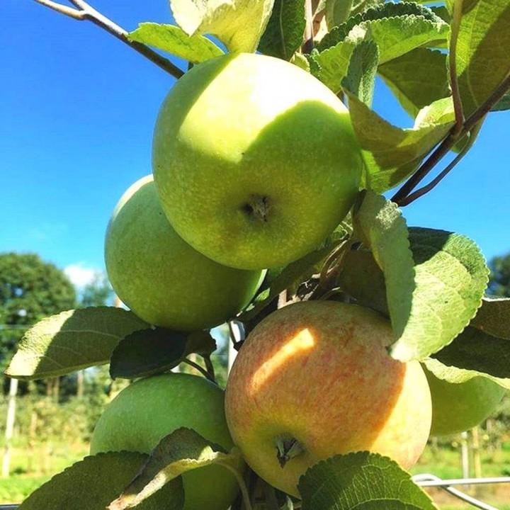 Сочи-2 сорт яблони