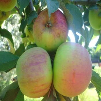 Саженцы колоновидной яблони Малюха в Батайске