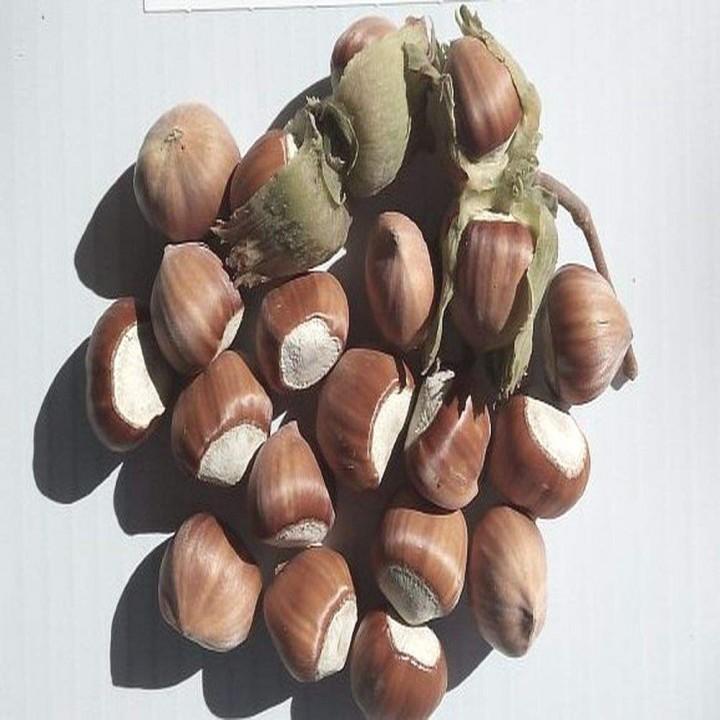 Барселонский сорт фундука
