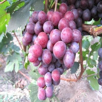 Саженцы винограда Сенатор в Батайске