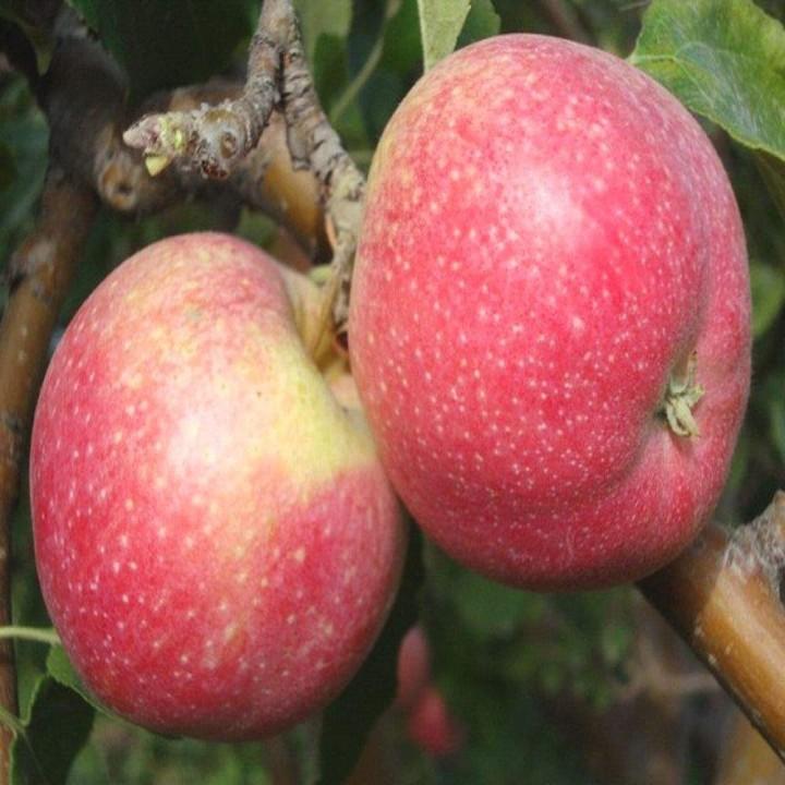 Эмбесси сорт яблони