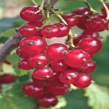 Саженцы красной смородины Любовь в Батайске